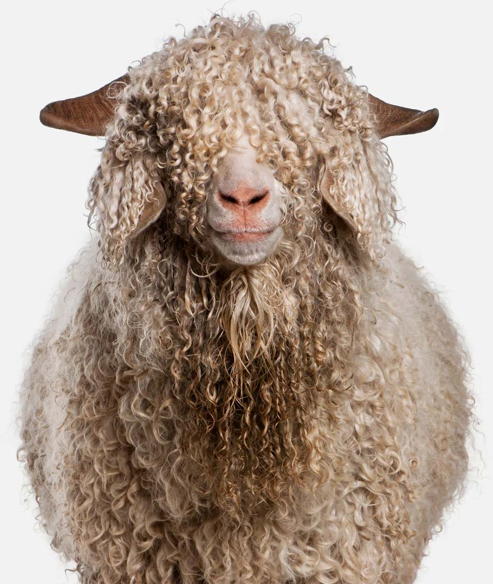 Sheep-front-page