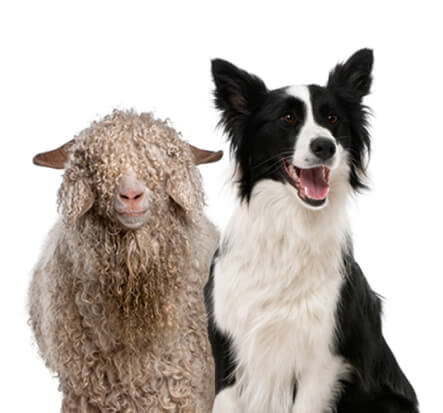 dog_and_sheep